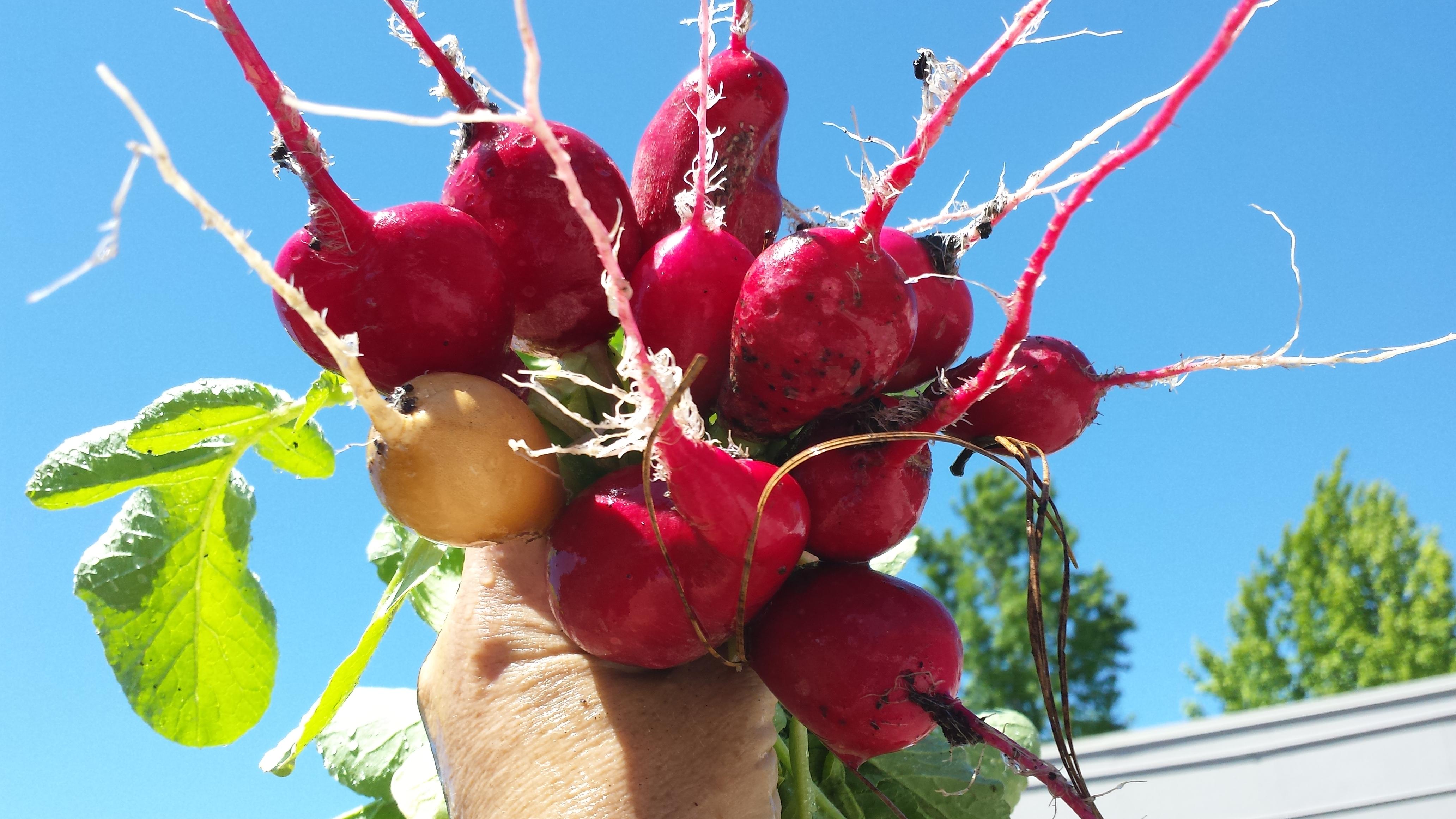 http://schoolgardenproject.org/wp-content/uploads/2011/09/radish-harvest.jpg